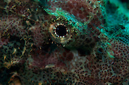 The eye of the Devil Scorpionfish. In the Philippines, muck divers head straight to Dauin to begin the hunt. It is considered one of the premier muck diving locations on the planet. On a bad day at Dauin, you can spot more rare animals than a decade out on the reef...