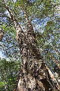 Paperbark Tea-Trees, Mary Creek in Daintree Rainforest, Queensland,  Australia