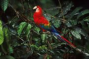 Scarlet Macaw<br />Ara macao<br />Manu National Park, PERU.  South America<br />RANGE:  SE Mexico south to Colombia, Ecuador, Peru, Bolivia and Guianas