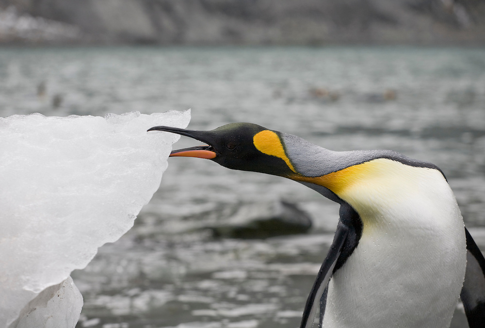 Antarctica, South Georgia Island (UK), King Penguin (Aptenodytes patagonicus) biting at iceberg calved from glacier in mountains around Gold Harbour