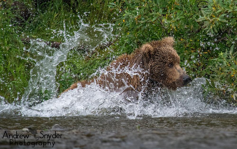 A brown bear (Ursus arctos) chases after salmon - Katmai, Alaska
