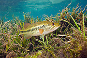 A male Large mouth bass, Micropterus salmoides, protects his nest in the Rainbow River in Northwest Florida, United States.