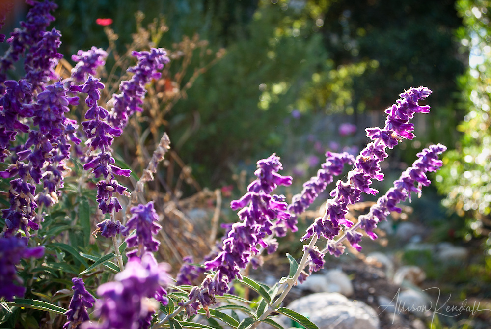 Mexican sage blooms in a summer coastal garden, is drought-tolerant, fragrant, and attracts hummingbirds and butterflies