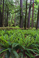 Sword Ferns (Polystichum munitum) surround a fallen tree at Cathedral Grove in Macmillan Provincial Park near Port Alberni, British Columbia, Canada