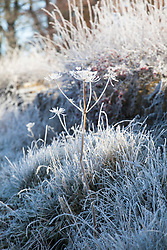 Frosty seedheads of Hogweed, Heracleum sphondylium, by a lane in Gloucestershire