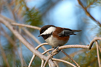 Chestnut backed Chickadee Poecile rufescens Parksville British Columbia Canada