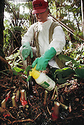 "Rainforest ""weedbuster"" Bob Mattos chopping & applying herbicide to invasive weeds; Kahili Ginger. Volcano National Park Big Island, Hawaii. USA. MODEL RELEASED."