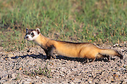 Wild Black-footed ferret in habitat