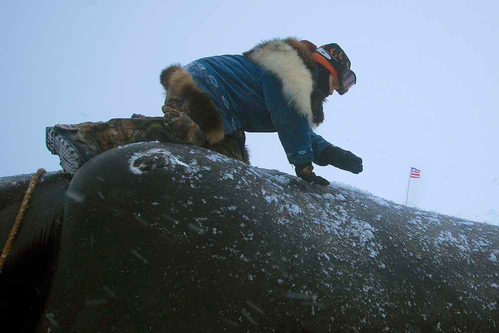 Barrow, Alaska. Sammuel Patkotak, Crawford's son climbs on their just landed whale. The crew's flag is in the background.   May 2007.