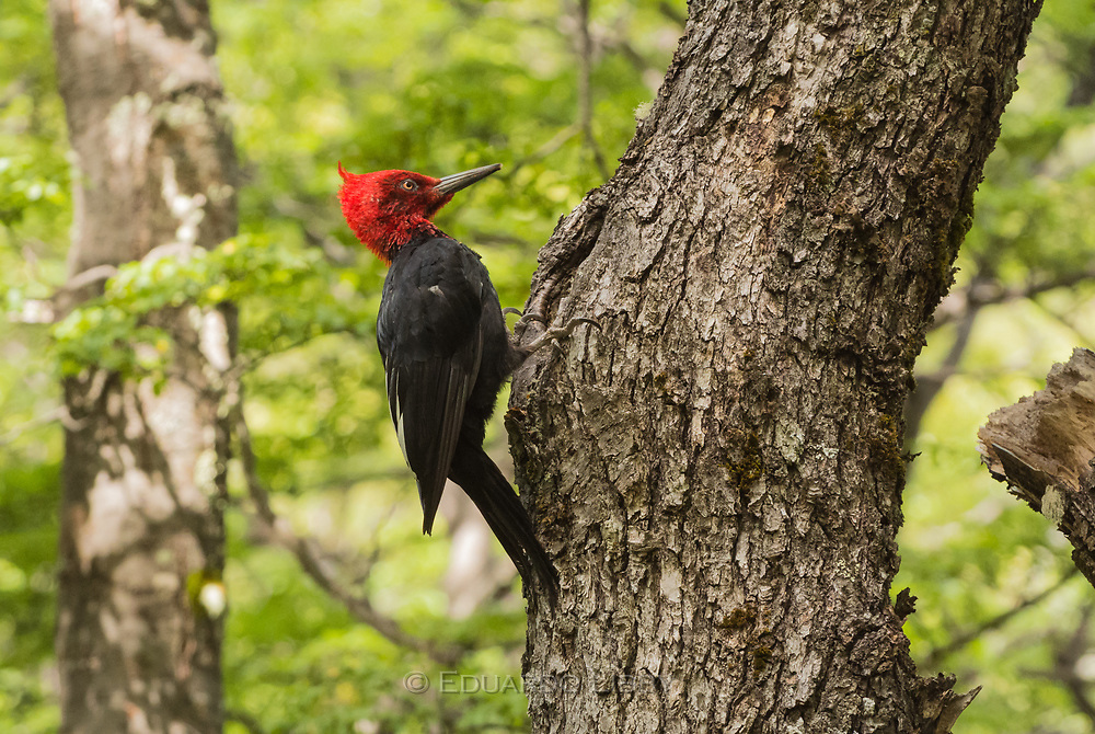 A male Magellanic Woodpecker in the Southern Beech forests of Patagonian Lake of the Desert, near El Chalten