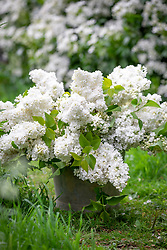 Bucket of picked Syringa vulgaris - Lilac