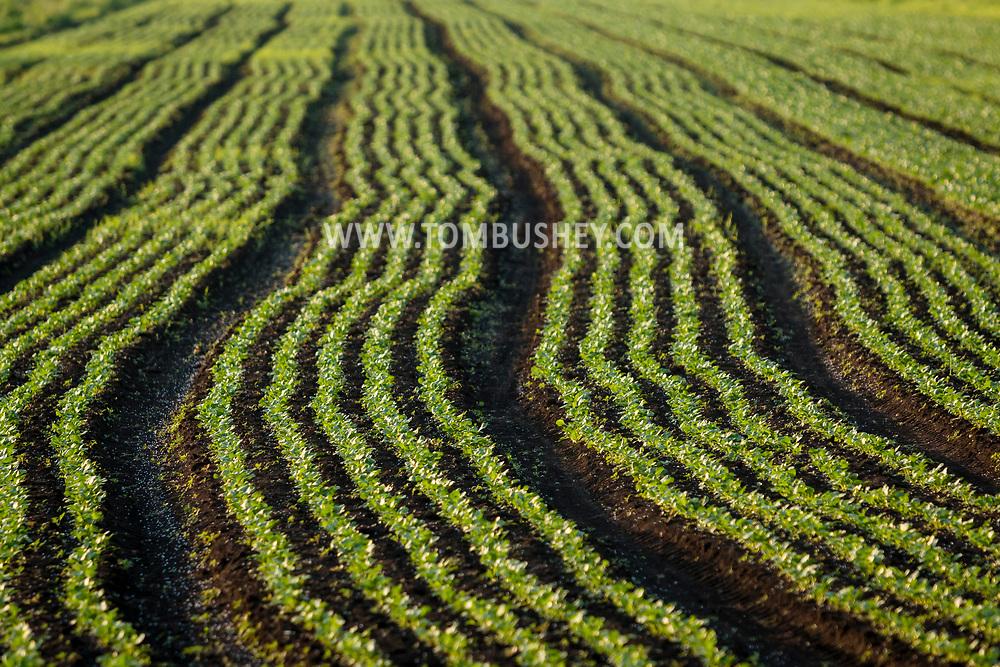 Florida, New York - Farming a field in the Black Dirt region on June 22, 2017.