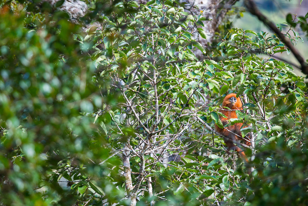 Red Leaf Monkey, Presbytis rubicunda, Mesilau, Mount Kinabalu, Sabah, Malaysia, Borneo,