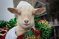 Baby goat in Santa hat in the sixth annual Krewe of Jingl New Orleans Christmas Parade. New Orleans has become one of the top tourist holiday destinations in the America.