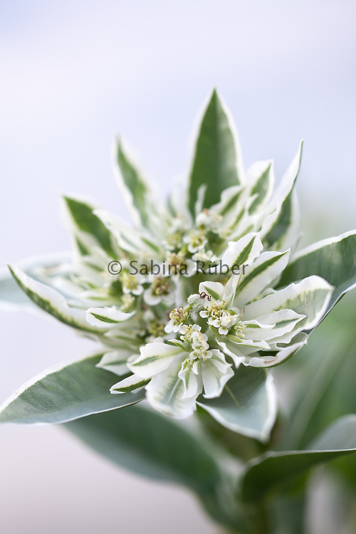 Euphorbia marginata - snow on the mountain