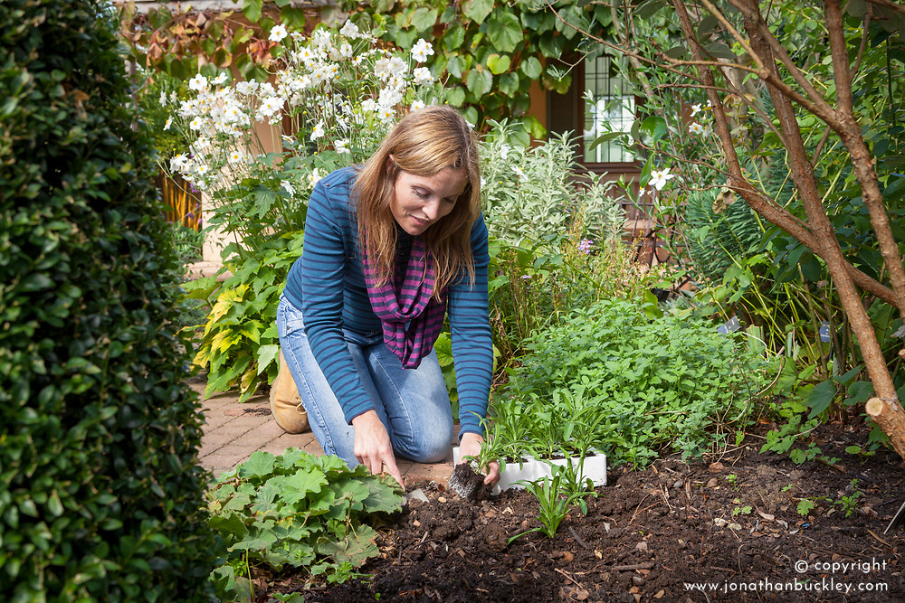 Planting out spring bedding plants in a border (Wallflowers, Erysimum)