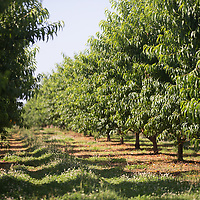 Rows and rows of peach trees grow at Cherry Creek Orchards in Pontotoc. The trees are pruned to grow in a bowl shape, allowing more light to hit the interior branches of the tree.