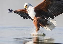 African Fish Eagle (Haliaeetus vocifer) in Lake Naivasha, Kenya