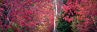 Bright red maples mix with the pines and aspen trees in Utah's Wasatch Mountains as Fall spreads across the valley.