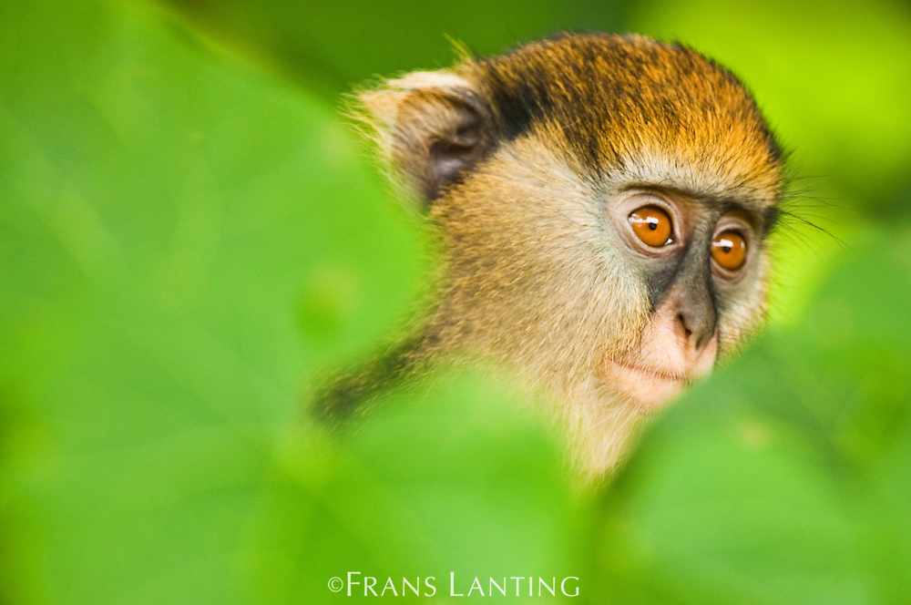 Mona monkey juvenile, Cercopithecus mona, Boabeng-Fiema Monkey Sanctuary, Ghana
