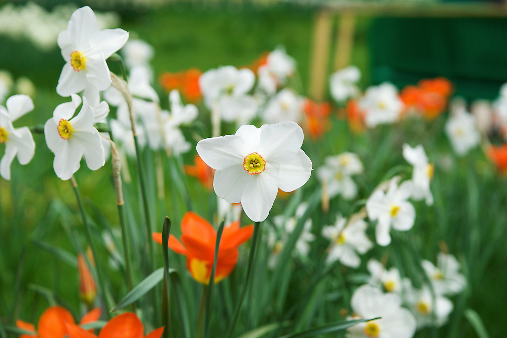 Narcissus or daffodils are a spring perennial flower.  These white daffodils were taken at Claude Monet's garden in Giverny, France.