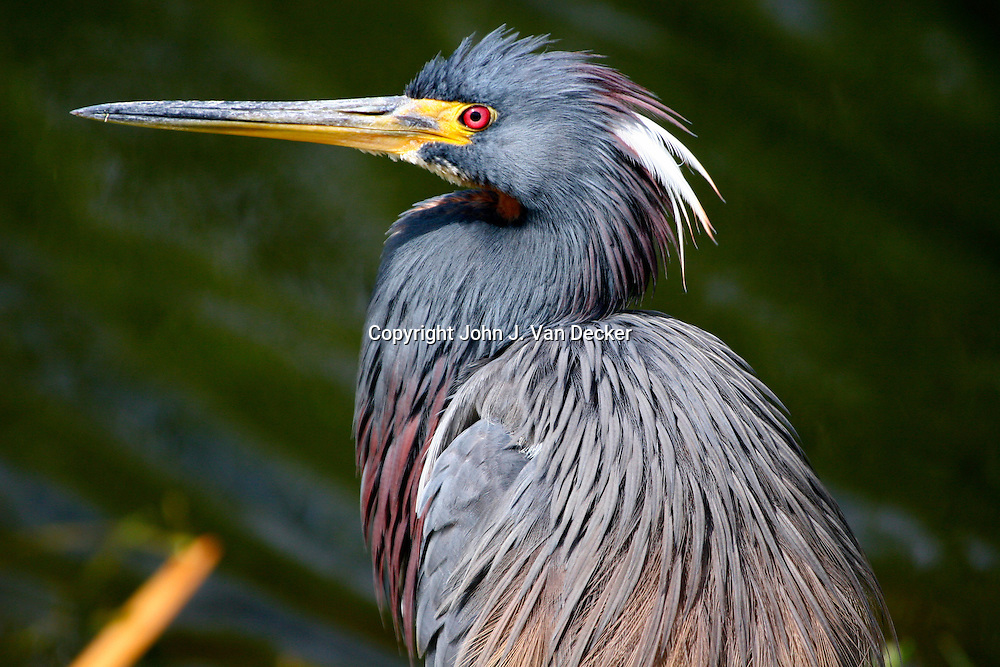 Tricolored Heron in breeding plumage close-up, Everglades National Park, Florida