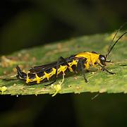 Soldier beetle, Ichthyurus sp. Kaeng Krachan National Park, Thailand.