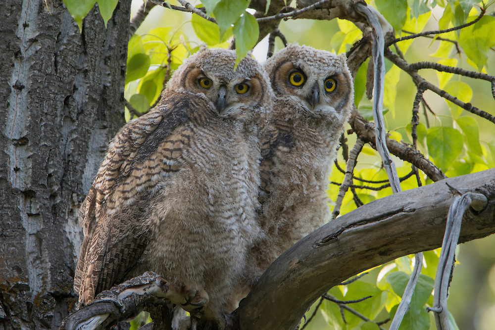 A pair of great horned owl (Bubo virginianus) fledglings, Bitterroot Valley, Montana