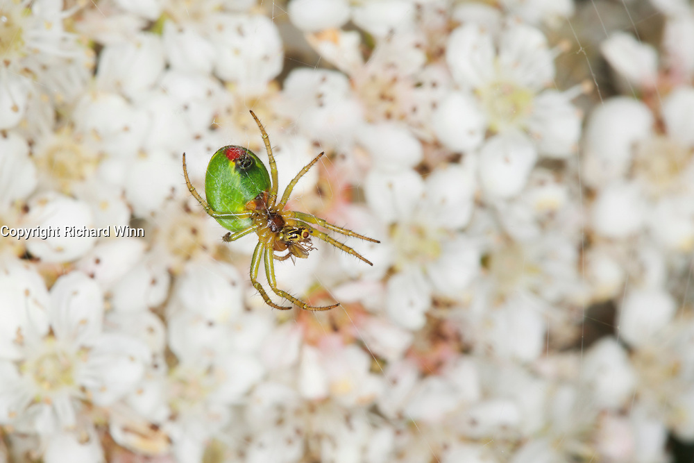 Small green spider, identified as one of the Arianella sp., consuming a small cranefly-like fly.