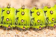 Detail of emperor moth caterpillar (Saturnia pavonia). Surrey, UK.