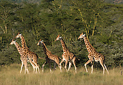 Group of giraffes walking through savannah, Lake Nakuru National Park, Kenya.