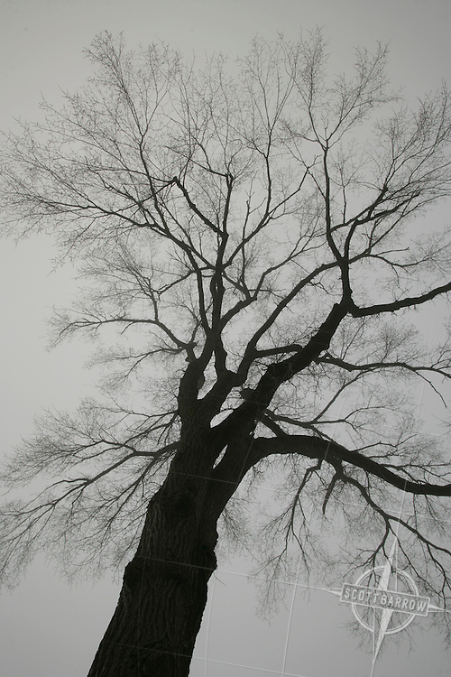 Bare elm tree in winter.