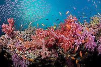 Rainbow of Soft Corals, Anthias, and Fusiliers II