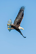 Bald eagle in flight against clear blue sky starts a dive, © 2005 David A. Ponton