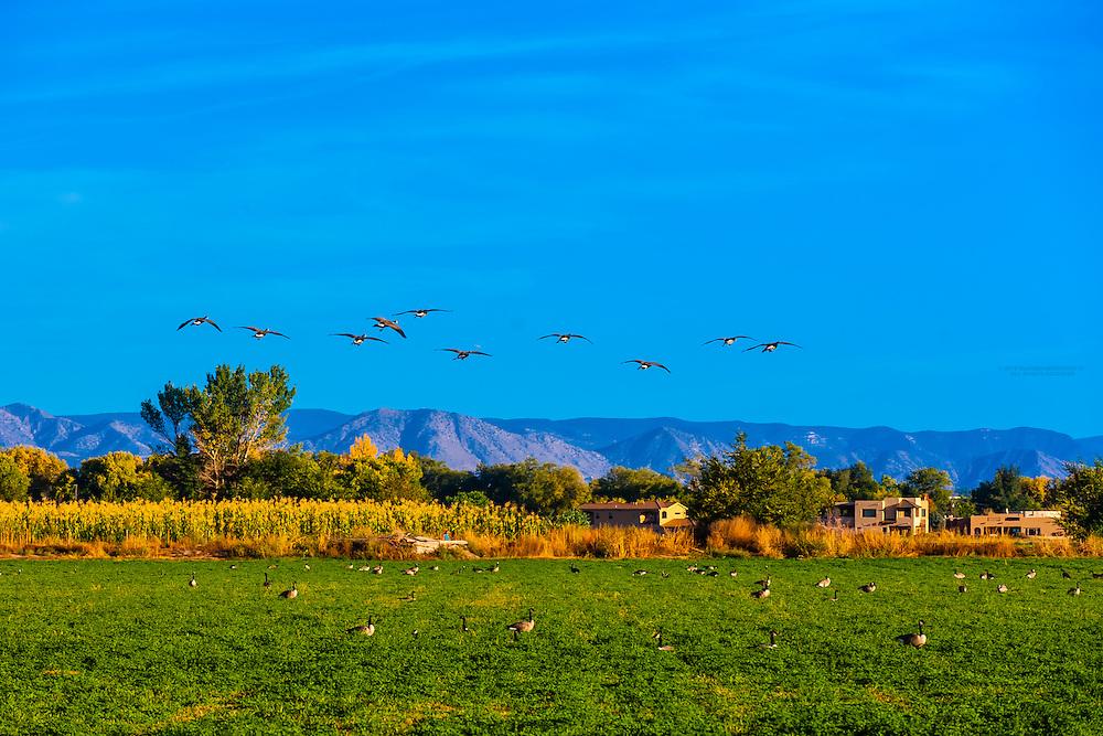 Geese in a field, Los Ranchos de Albuquerque (metro Albuquerque), New Mexico USA.