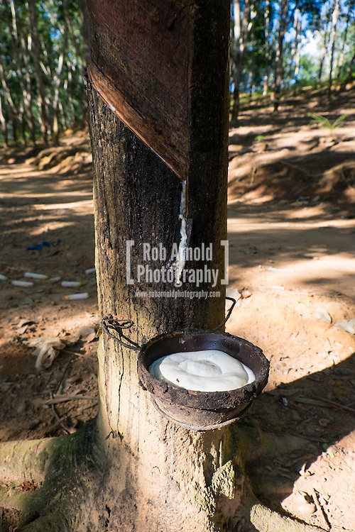 A rubber tree 'bleeding' its white liquid sap, which is a raw material used in the manufacturing of rubber and plastic products. Rubber plantations have become big business in Laos, with much of the raw material being shipped to China for further processing.