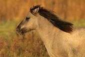 Konik paard