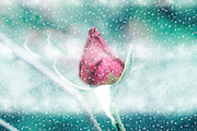 Digitally manipulated Pink garden rose in a blizzard