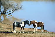 A black and white paint and a chestnut and white paint mustangs share a moment at the watering hole at McCullough Peaks near Cody Wyoming