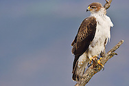 Bonelli's eagle or Eurasian hawk-eagle, Hieraetus fasciatus or Aquila fasciata, picture taken from hide, at a feeding station for conservation purposes, utillizing live domestic pigeons caught as pests in a nearby city, Montsenis, Pre-Pyrenees, Catalonia, Spain