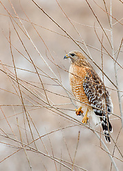 A Red SHouldered Hawk in a Tree During A Cold Snowy March Day In Missouri