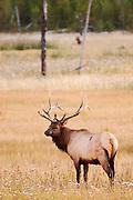 USA, Yellowstone National Park (WY).Elk (Cervus elaphus) in Hayden Valley