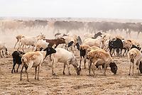 Domestic sheep and cattle feeding in Amboseli, Amboseli National Park, Kenya
