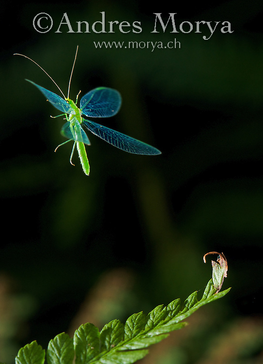 Common Lacewing in flight (Chrysoperla lucasina)<br /> Insects in flight, high speed photographic technique Image by Andres Morya