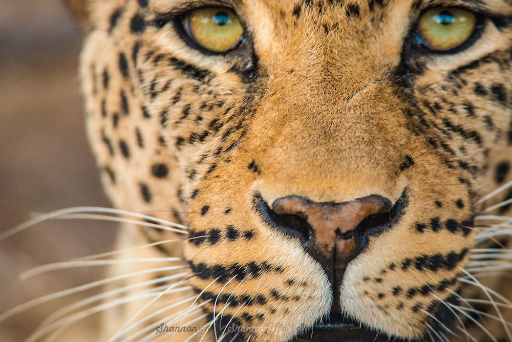 """The leopard is one of the five """"big cats"""" in the genus Panthera. It is a member of the Felidae family with a wide range in some parts of sub-Saharan Africa, West Asia, the Middle East, South and Southeast Asia to Siberia."""