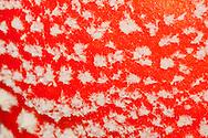 Alberto Carrera, Micro Detail, Amanita muscaria, Mushroom, Sierra de Guadarrama National Park, Guadarrama Mountains, Segovia, Castilla y León, Spain, Europe