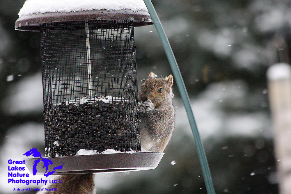 As the snow falls in early January 2009, this fox squirrel casually lays in the tray of this feeder, dining on fresh sunflower seeds. What a life!
