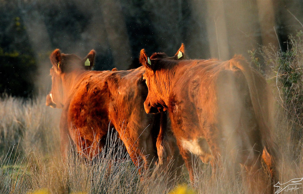 Always loved this photo of cattle at the close of day. It's the way the evening sun turns everything to terracotta, and the way they, like myself are ambling home.