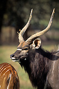 Nyala male (Tragelaphus angasi). Native range: lowland woods of extreme SW Africa including Zimbabwe, Mozambique and South Africa. Captive.