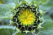 extreme close up of a budding sunflower in the field